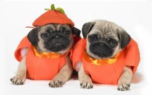 halloween_pugs